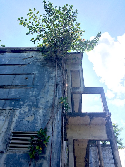 Trees growing out of abandoned building at Bamboo Cathedral hike, Trinidad.