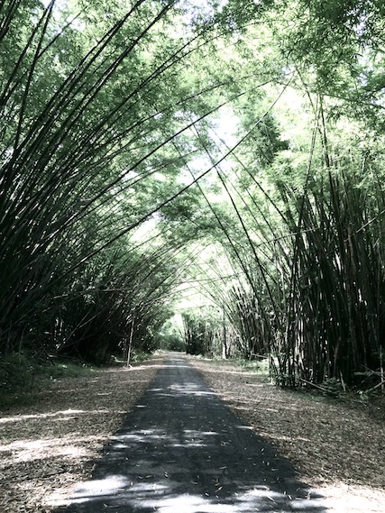Bamboo branches making an archway over a path at Bamboo Cathedral, Trinidad