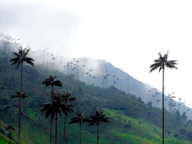 View across rolling hills of Cocora Valley, Colombia dotted in tall wax palm trees.