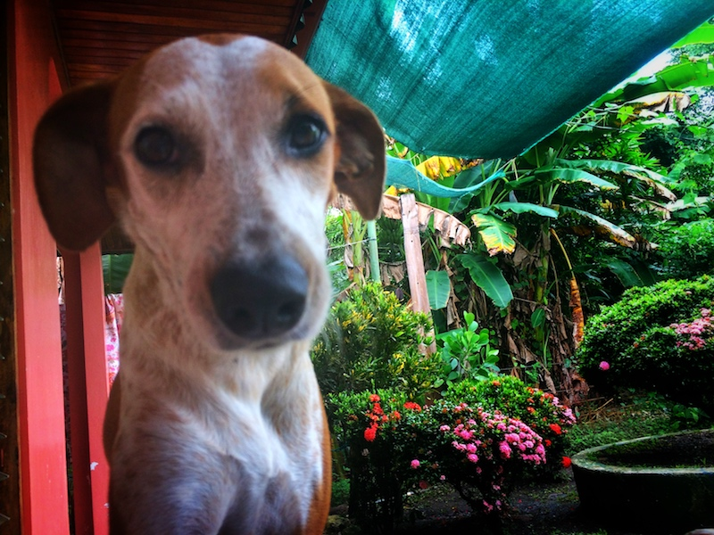 Close up of a dog with lush garden behind while housesitting in Costa Rica