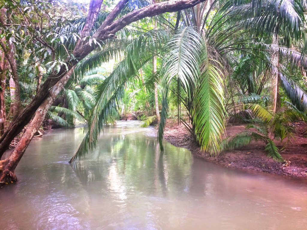 Full river with palm trees leaning over reaching to the water in Curu, Costa Rica.