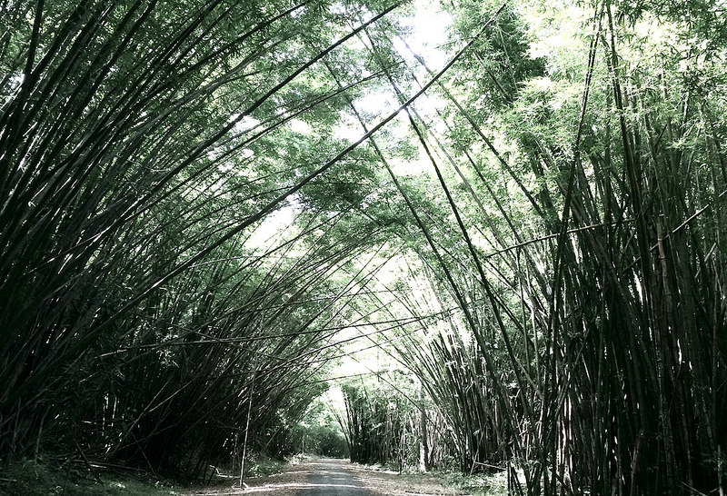 bamboo stems creating a natural arch over a path in Trinidad