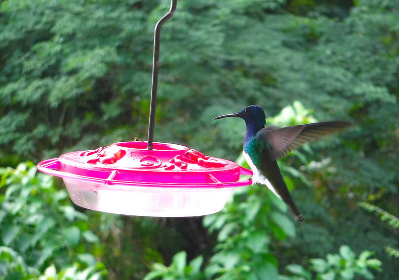 blue and green hummingbird sitting on a feeder with wings in motion.
