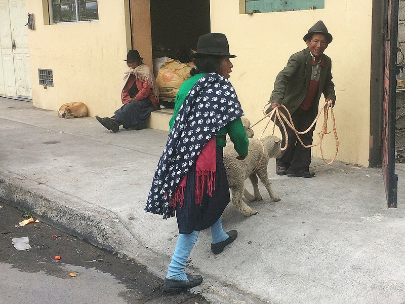 Elderley indigenous couple dragging sheep home from the market in Ecuador.