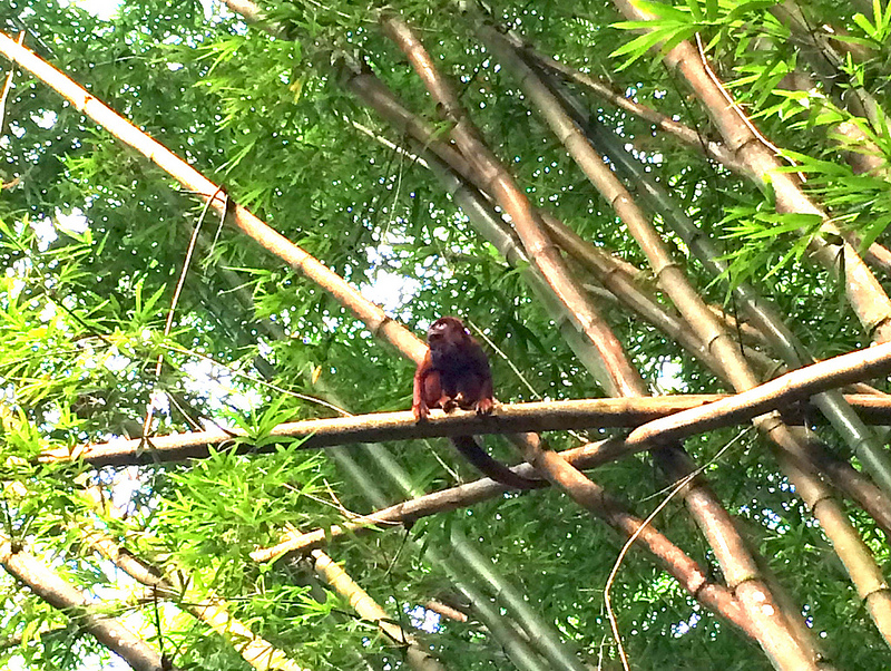 Red howler monkey in bamboo in Bamboo Cathedral, Trinidad