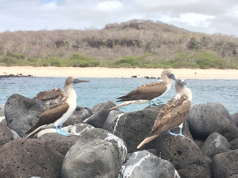 Three blue-footed boobies and a pelican on rocks with a beach in the background at Punta Carola, San Cristobal Galapagos.