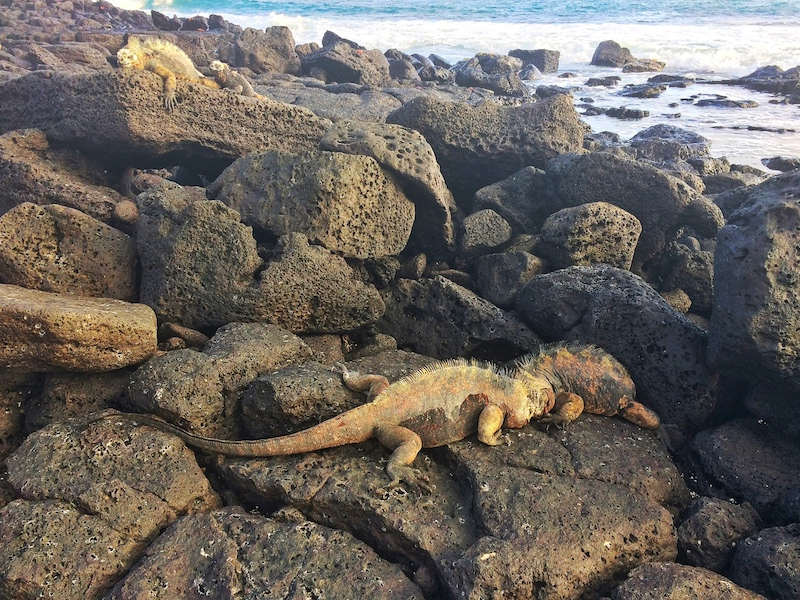Two marine iguanas butting heads as they fight on black lava rocks with the sea behind.