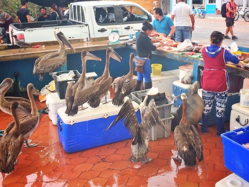 Women working at cleaning and cutting fish at Puerto Ayora Fish Market while a sea lion and many pelicans watch. Santa Cruz Island, Galapagos Ecuador