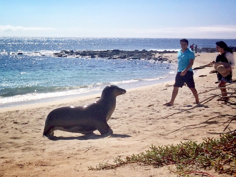 A couple walking along a beach while a large sea lion crosses their path in San Cristobal, Galapagos islands, Ecuador.