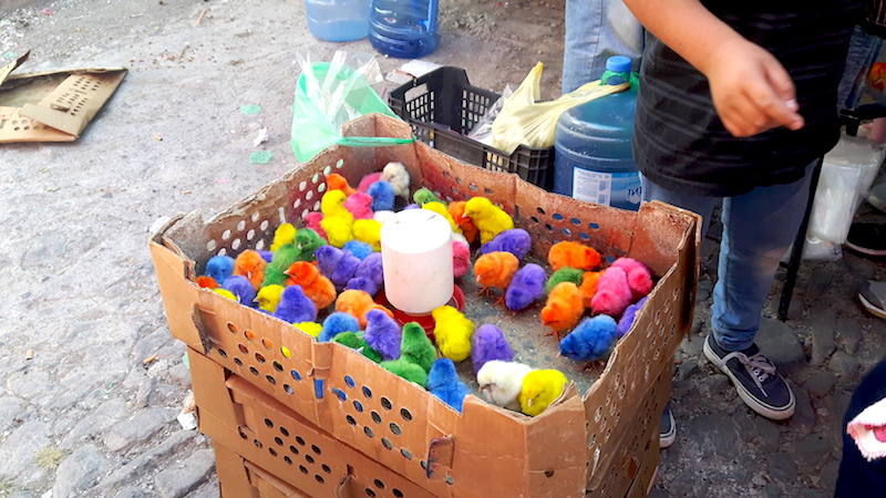 Box full of baby chicks dyed bright colours at Chapala market, Mexico.