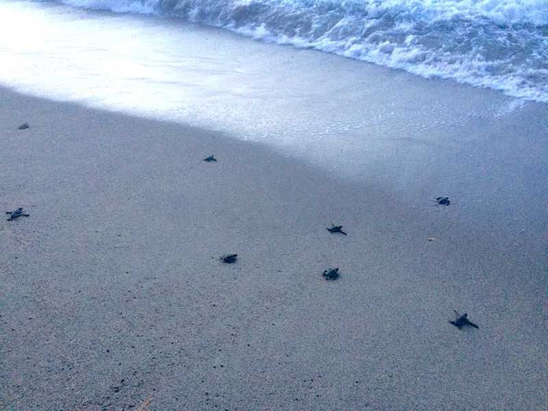 Turtle hatchlings reaching the Caribbean Sea in Grande Riviera Trinidad at sunset.