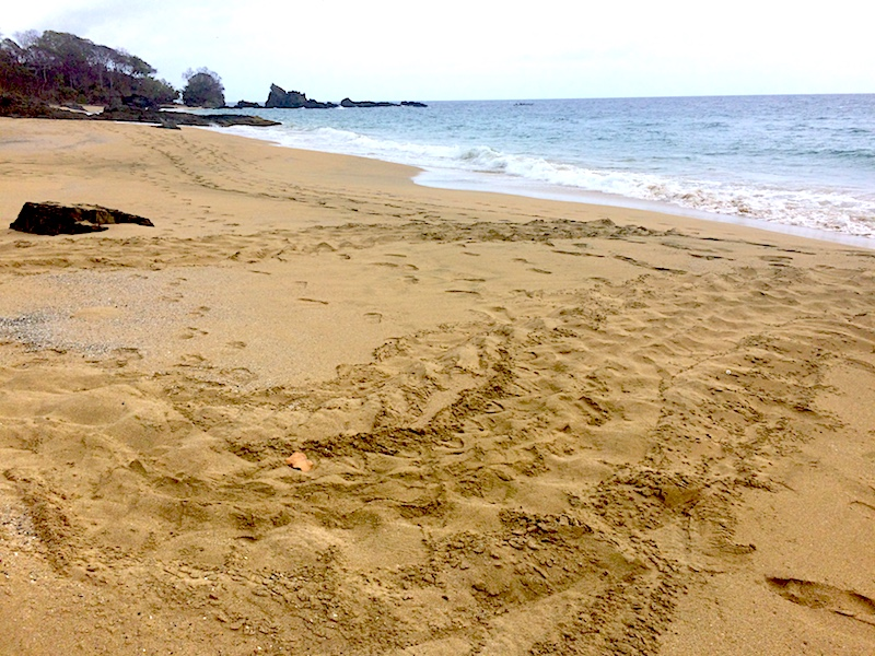 Leatherback turtle tracks in the sand of Back Bay, Tobago
