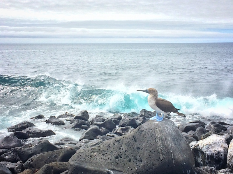 A blue footed boobie sitting on black rocks with large blue waves crashing behind at Punta Carola, Galapagos