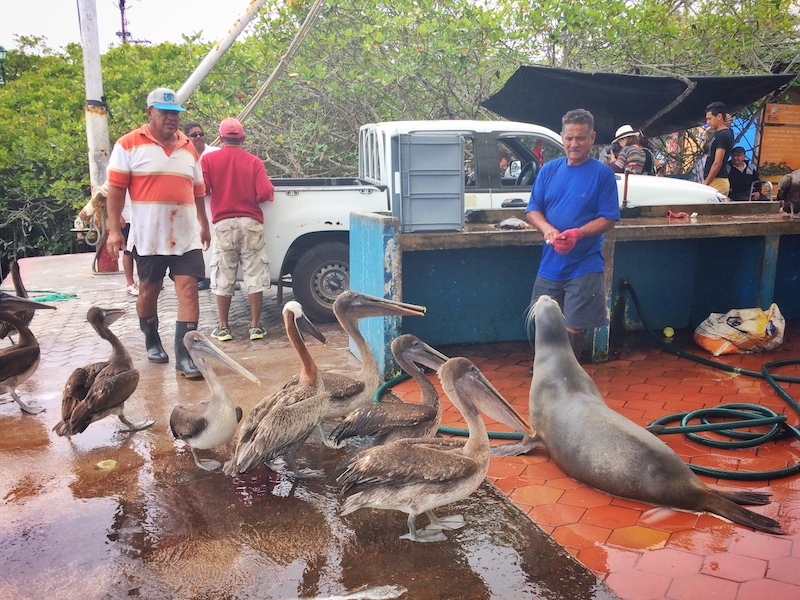 A man throwing scraps to a sea lion and loads of pelicans at Puerto Ayora Fish Market, Galapagos.