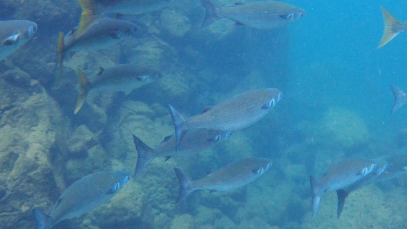 A school of fish in clear blue water at Las Grietas, Galapagos.