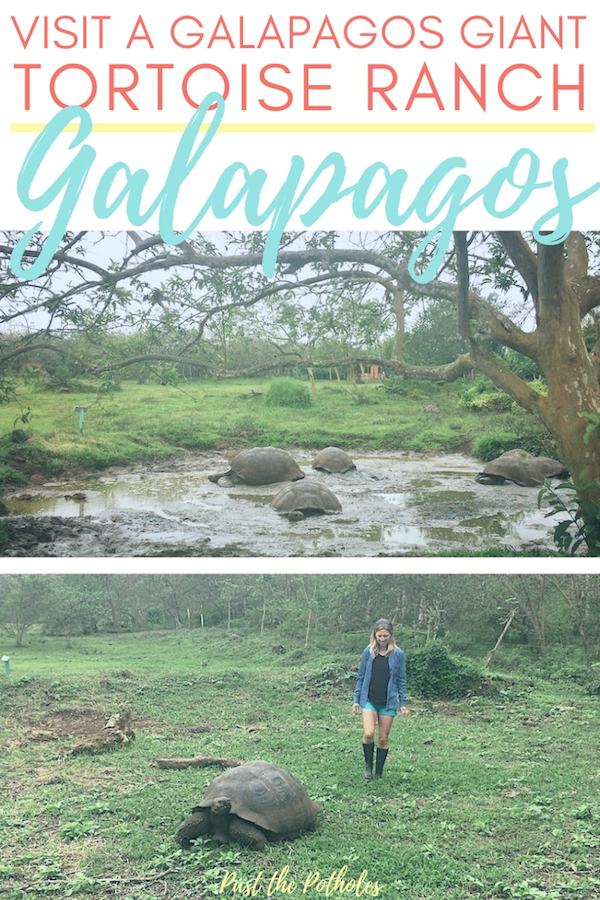 Walking through a field with giant Galapagos tortoises with text: Visit a Galapagos giant tortoise ranch, Ecuador.
