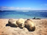 Three sea lions cuddled together on a beach with bright blue water behind at La Loberia, San Cristobal, Galapagos.