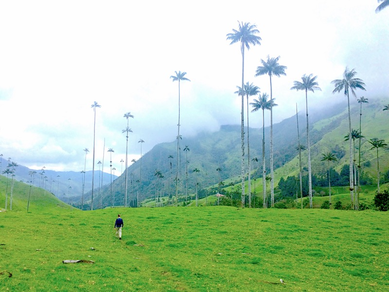Man walking through field of tall wax palms in Cocora Valley, Salento, Colombia.