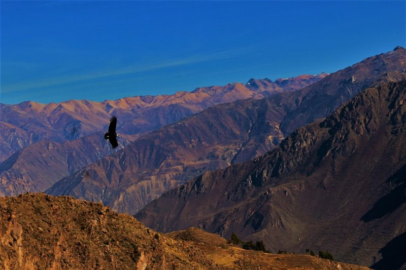 Condor flying over the Colca Canyon, Peru - top things to do in Peru