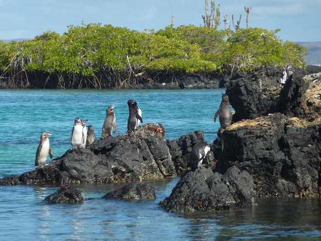 A group of Galapagos penguins on a rock at Las Tintoreras