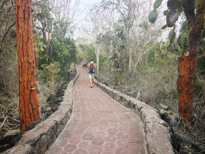 Man walking along a stone path lined with tall cactus trees.
