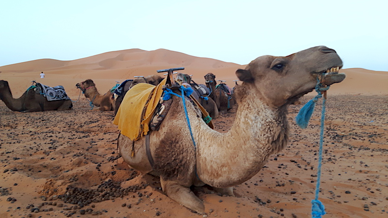 Close up of a resting camel wit more camels behind in the Sahara Desert, Morocco.