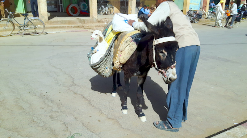 Man leaning over a small donkey with a sheep in its side pouch in Rissani market, Morocco.