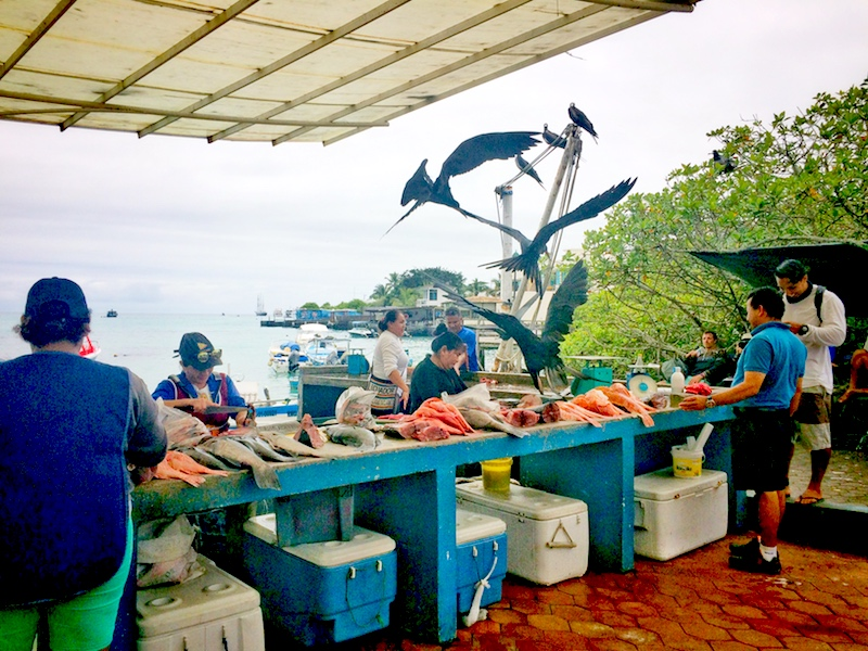 Huge frigate birds swooping into the Puerto Ayora Fish Market trying to steal fish.