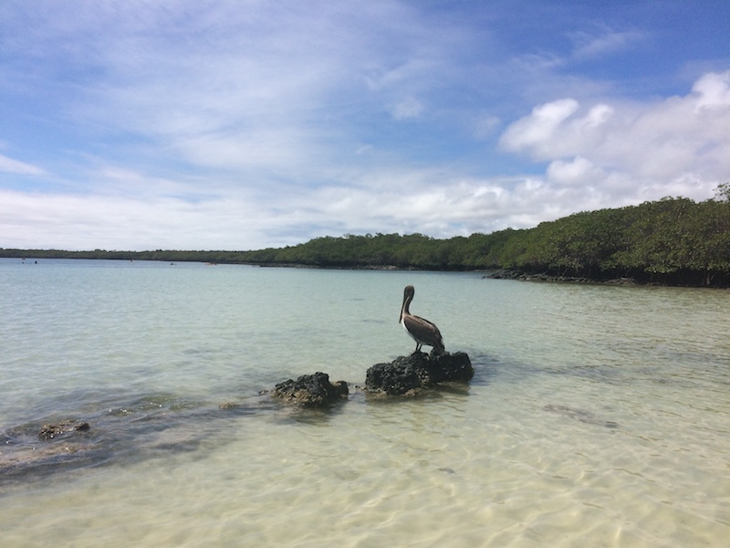 Pelican sitting on a rock in clear water in the Galapagos.