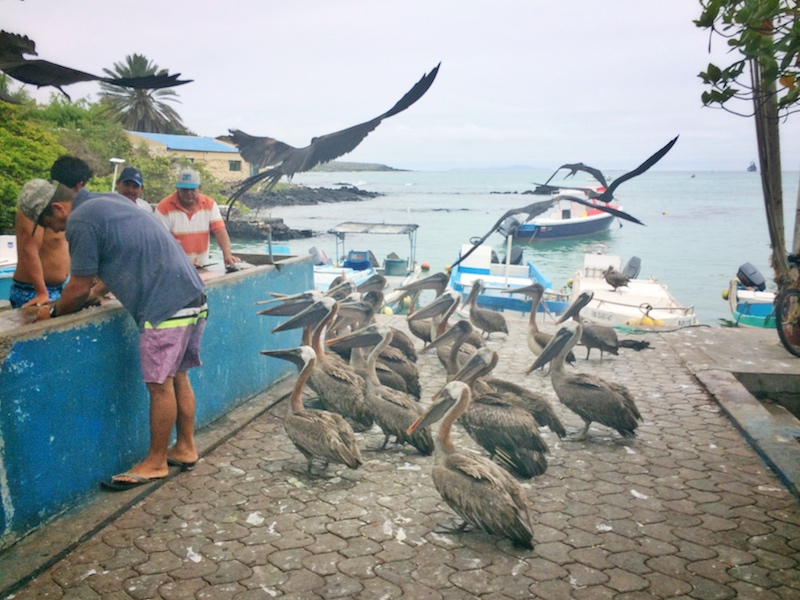 Pelicans and frigate birds waiting for scraps at fish market with water and boats behind in Galapagos.