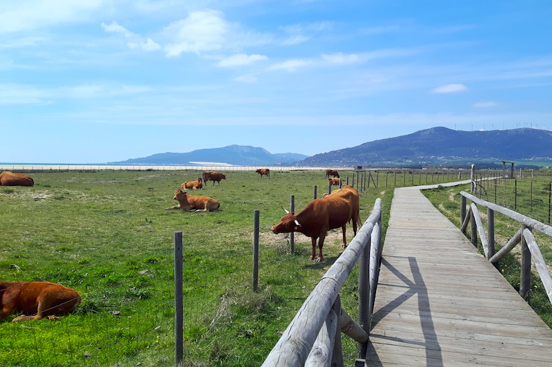 Cows on the wooden boardwalk along the beach in Tarifa, Spain.