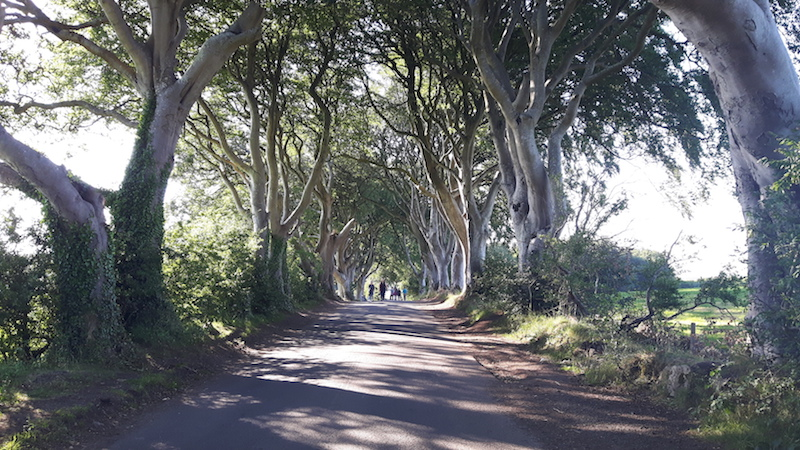 Twisted branches of trees lining a narrow lane called Dark Hedges in Northern Ireland.