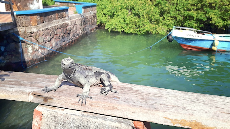 Marine iguana sitting on wooden railing with fishing boats behind in Puerto Ayora, Galapagos Islands.