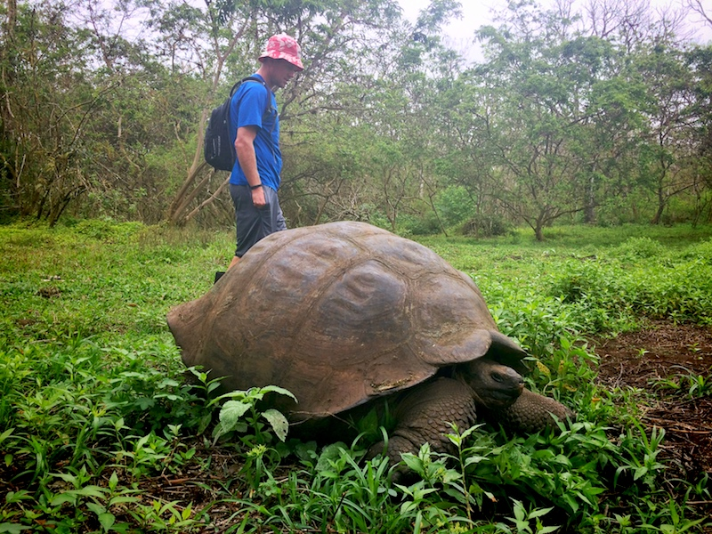Man walking beside a giant Galapagos tortoise in a field at Rancho las Primicias, Santa Cruz Island.