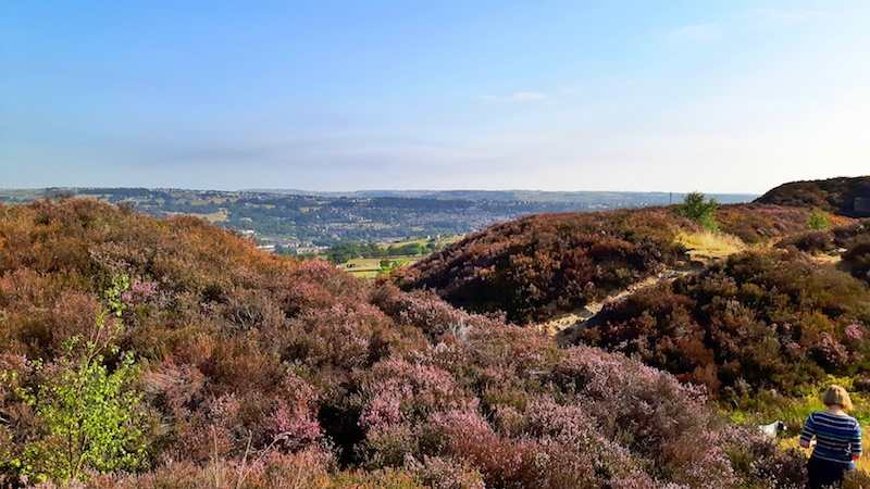 Purple heather across rolling hills in the Norland Moor, Yorkshire England.