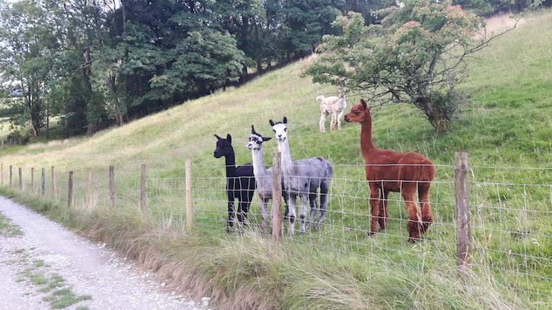 Four llamas in a field looking at the camera in Yorkshire Dales, England.