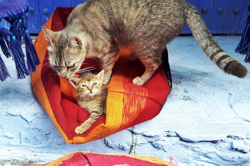 Tabby cat and her kitten in a red woven basket on a blue step in Chefchaouen, Morocco.