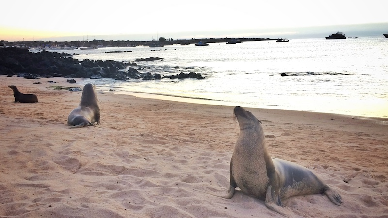 Sea lions on the beach at sunset on Playa Mann, San Cristobal Island, Galapagos.