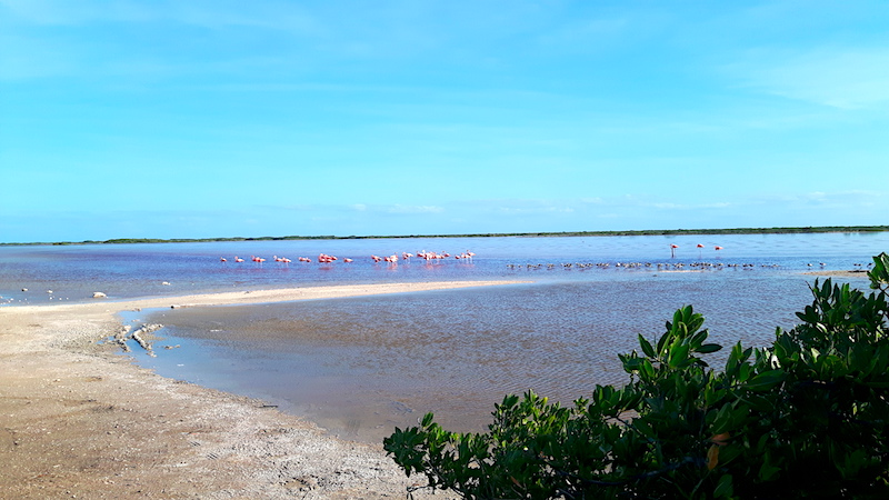 Flock of flamingos in lagoon, Yucatan Mexico
