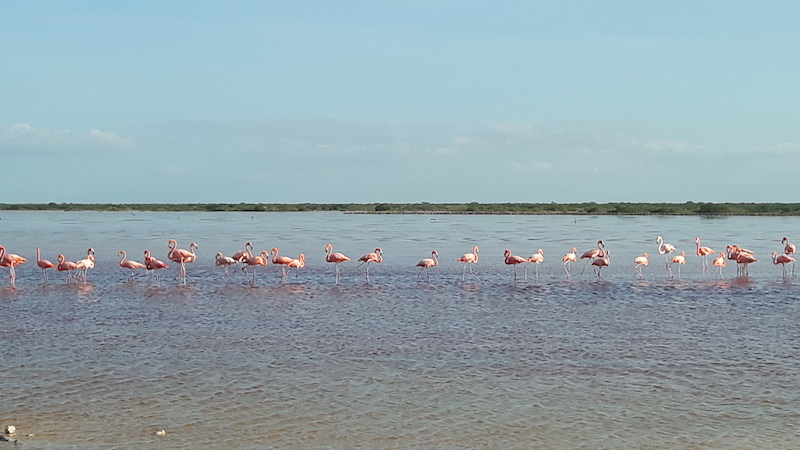 Long line of pink flamingoes in shallow water with mangroves in the distance at the lagoon in San Crisanto, Yucatan, Mexico.