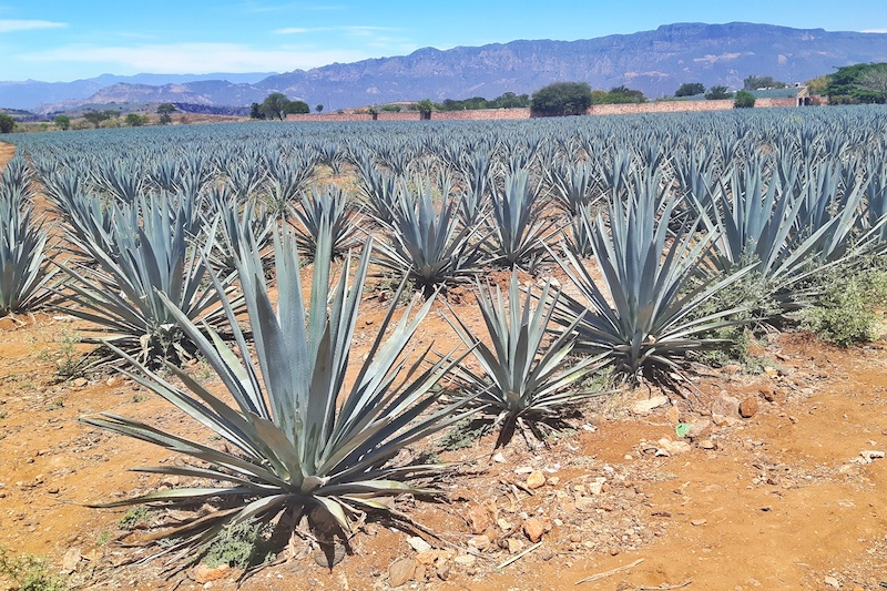 Rows of blue agave plants in red soil in Tequila, Mexico.
