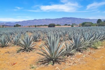 Blue agave fields on a Tequila, Jalisco tour.