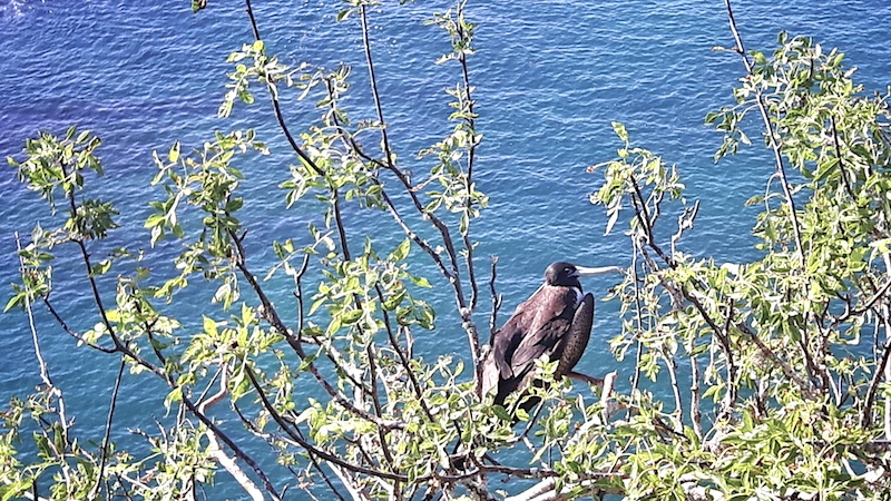 Large black frigate bird in a tree with blue ocean water behind on Cerro Tijeretas in Isla San Cristobal, Galapagos.