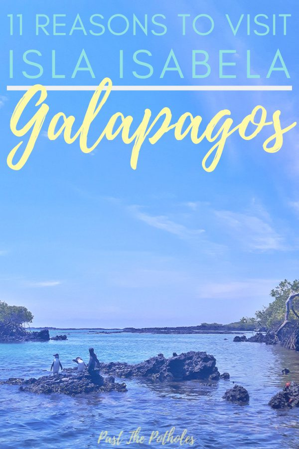 Penguins on a rock with text: 11 Reasons to visit Isla Isabela, Galapagos