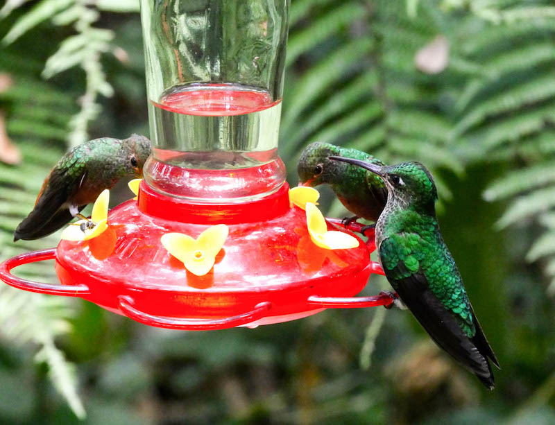 Green hummingbirds at a red feeder in Mindo cloudforest, Ecuador.