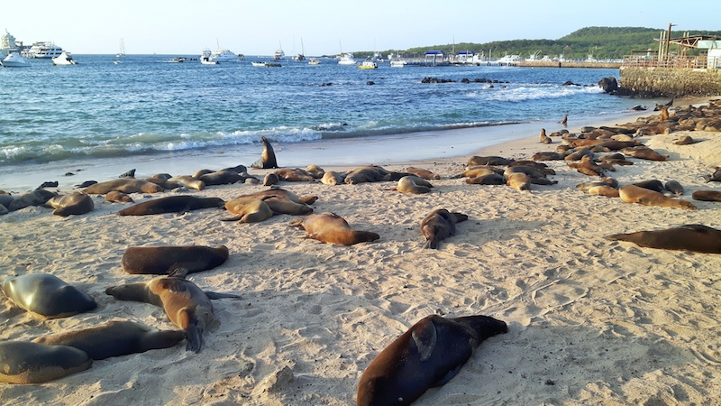 San Cristobal beach covered in sea lions in Galapagos Islands.