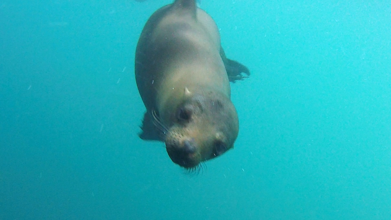 A curious sea lion looks at the camera underwater snorkelling at Kicker Rock, Galapagos