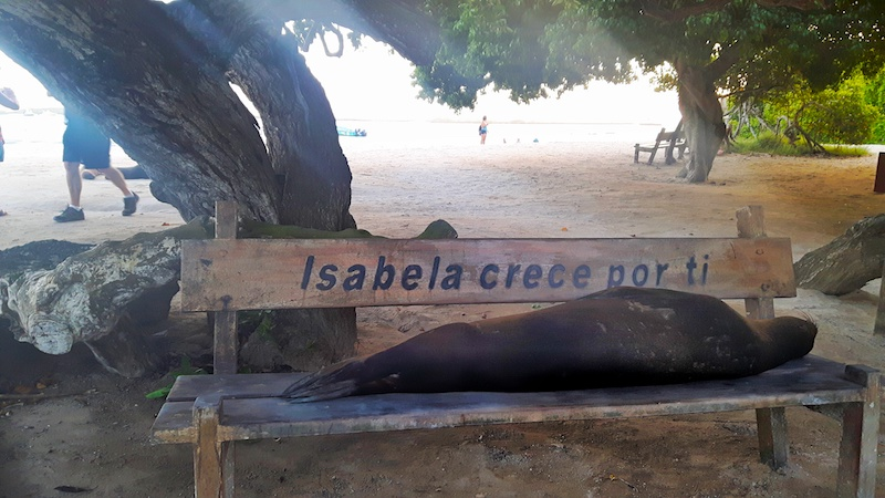 Sea lion asleep on a bench under a tree at the beach in Isabela, Galapagos.