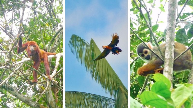 Three images of monkeys and a parrot in the trees of the Amazon Rainforest, Ecuador.