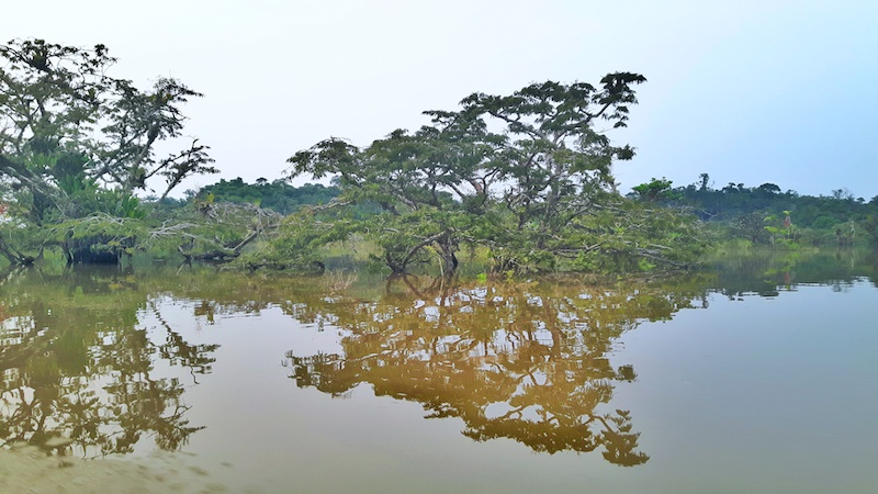 Flooded forests under brown water in Amazon Rainforest, Ecuador.